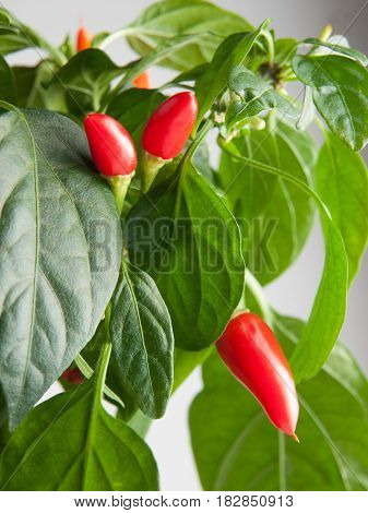 Bright red hot peppers ripening on a plant