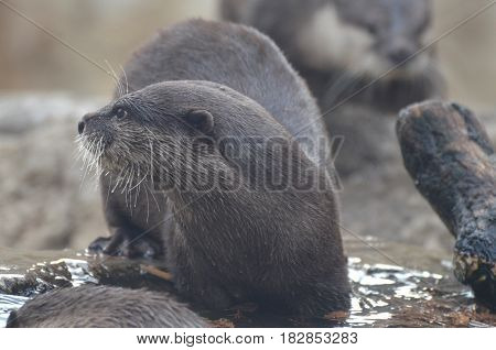 Really cute wild river otter surrounded by water.