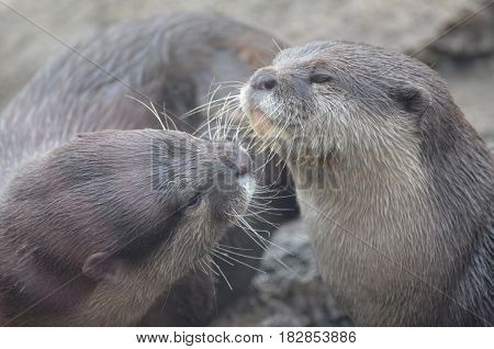 Really adorable pair of river otters cuddling and showing affection.