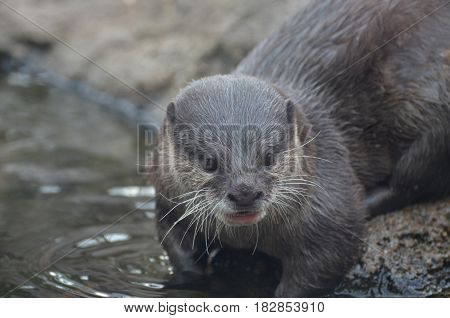 Really cute face of a river otter by the edge of the water.