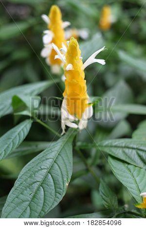Pachystachys lutea Nees candle Golden shrimp plant Lollypops