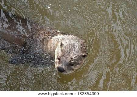 Adorable river otter peaking out of a muddy river.
