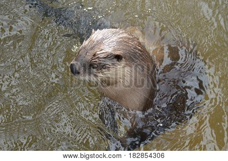 Really cute swimming river otter in a muddy river.