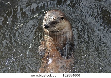 River otter floating on his back in a river.