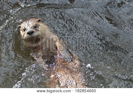 Adorable river otter floating on his back in a river.