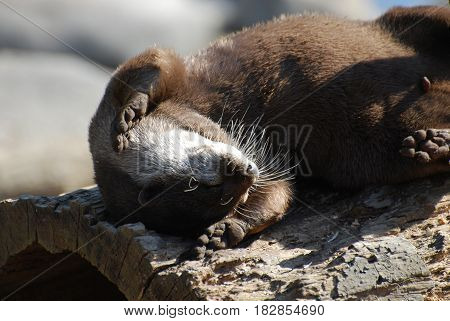 Humorous river otter rolling around on his back.