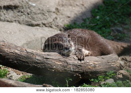 River otter relaxing while resting on a fallen log.