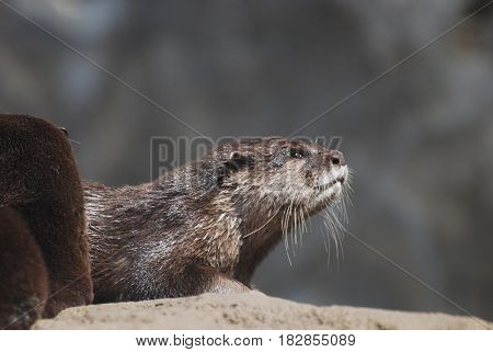 Cute face of a giant river otter in the wild.