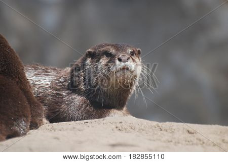 Giant river otter sitting perched on a rock.