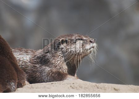Really beautiful profile of a river otter up close and personal.