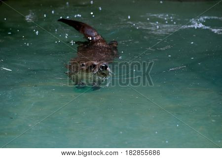 River otter swimming on top of the water.