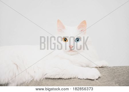 White turkish van cat with different colored eyes lying on sofa staring at camera.