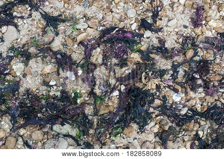 Seaweed on a beach with pebbles and shells from an overhead perspective