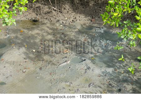 Mudskipper fish in the mangrove forests in Thailand.