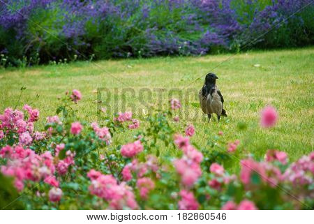 Black and grey raven waiting on grass in park between different flowers