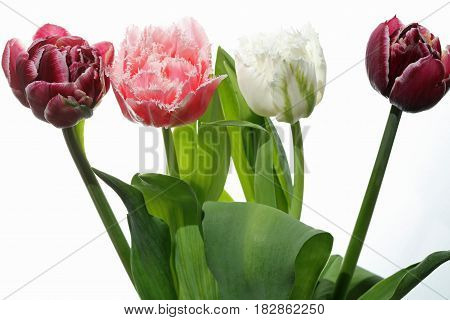 Different colored Spring Tulips against white Background