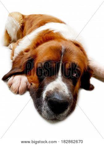 Dog saint bernard,s friend background animal front