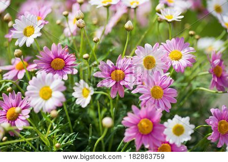 Margarites spring summer planting season gardening, flower