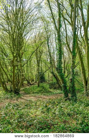 Portrait shot of woodland in Essex countryside in springtime.