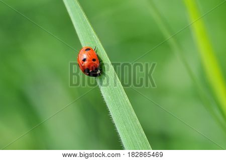 Ladybird sitting on top of grass in the meadow