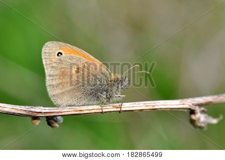 The Small Heath butterfly, Coenonympha pamphilus  on dry grass in meadow