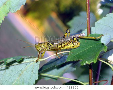Close-up Grasshopper