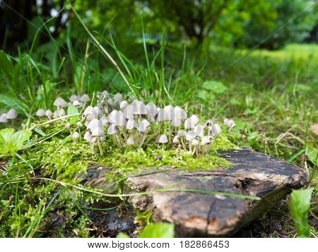 Group of fungi Coprinellus domesticus on the old stump.