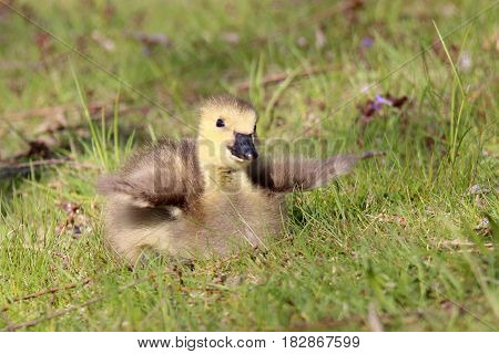 A fluffy little Canada goose gosling flapping its wings.