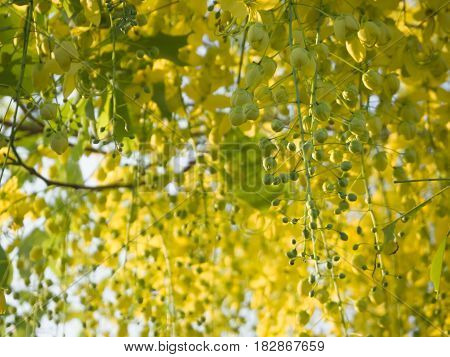 Cassia fistula flowers yellow color on tree.