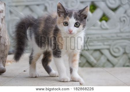 Portrait of a cute kitten. Grey lop-eared cat with huge yellow eyes. Animal afraid afraid