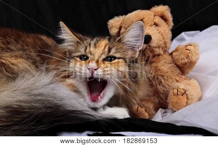 Norwegian forest cat female kitten with her teddy bear