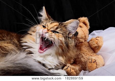 Norwegian female kitten with her teddy bear toy