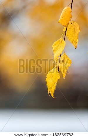 Abstract photography. White snow fallen on yellow autumn leaves.