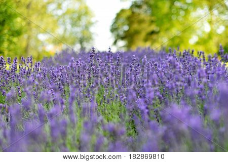 Edge of the forest glamorous bloom blue lavender field.
