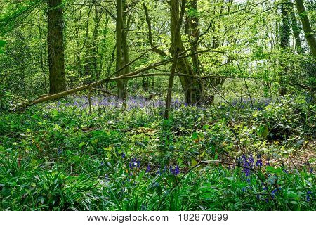 Bluebells in the Essex woods in Spring with lovely light