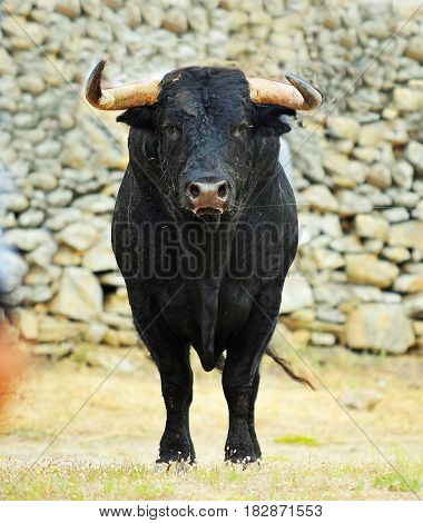 spanish bull with big antlers in spain