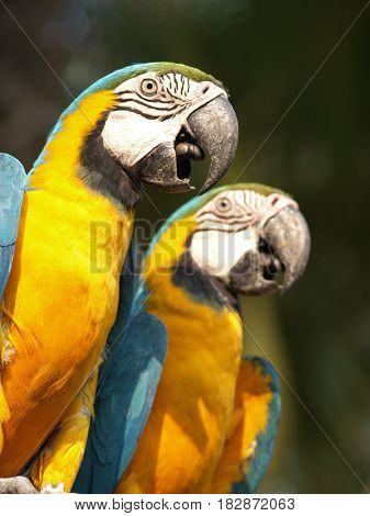 Blue and yellow macaw or blue and gold macaw Ara ararauna bird of the Psittacidae family and one of the most famous parrots of the world.