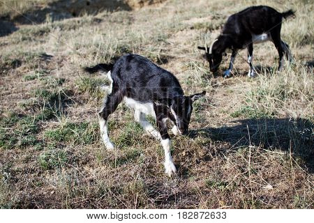 beautiful goat with a white black coat grazing in a meadow