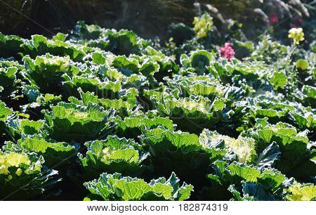 cabbage on the field in morning sunlight