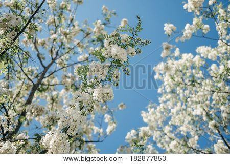 Acacia flowers and branches (shallow depth of field)
