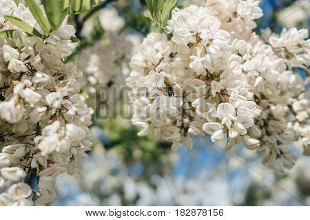 Acacia flower closeup ( Robinia pseudoacacia) .