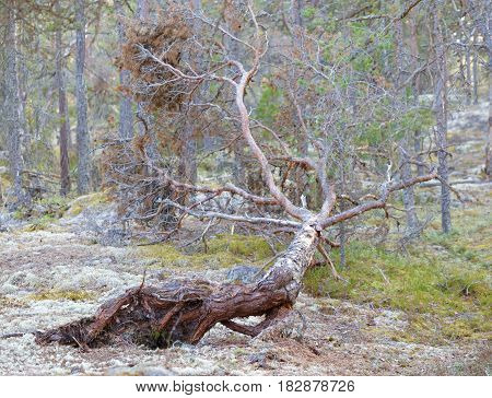 uprooted fallen pine trees after a storm