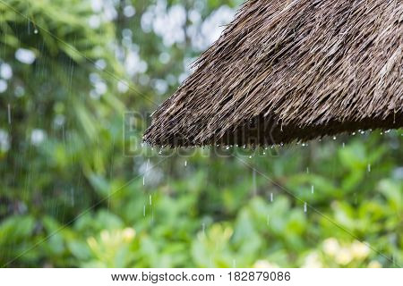 Tropical summer rain falling big rain drops falling down on straw roof in garden. Island Bali Ubud Indonesia