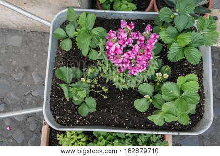 The top view of gardening cart wheelbarrow with plant and pink flower beside the street.