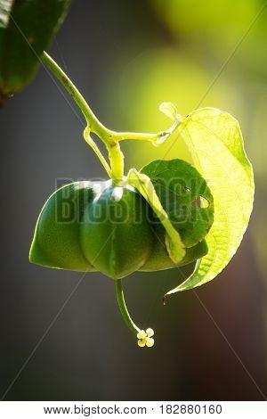 Sacha Inchi capsule of inca peanut at plantation