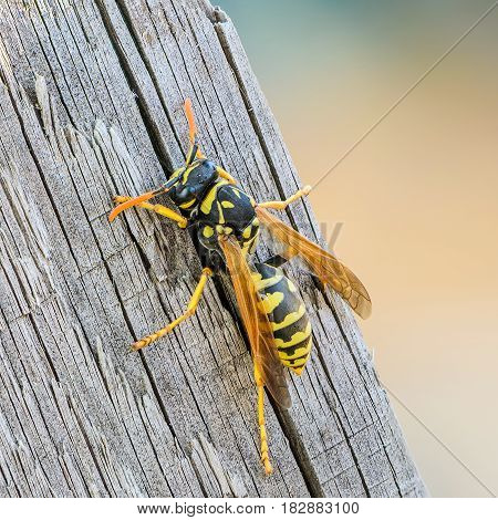 Portrait of a close-up of a wasp which sits on the old board