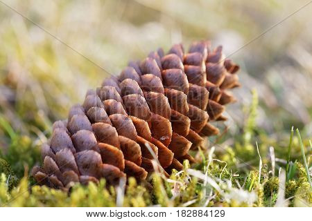 Closeup of a fir cone laying on the ground