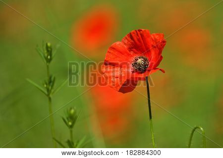 Poppy, Papaver Rhoeas (common Names Include Corn Poppy, Corn Rose, Field Poppy, Flanders Poppy, Red