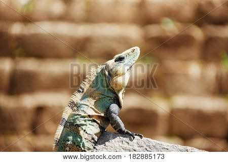 Side view portrait of Varanus sitting in the sun on the stone of ancient town Chichen Itza, Mexico