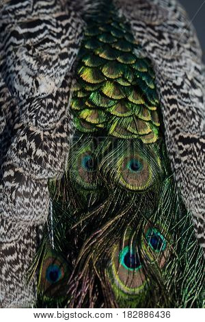 Glory coloring. Beautiful peacock feathers or tail peafowl bird with extravagant plumage iridescent blue and green eyespots on blurred natural background